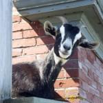 Got My Goat?