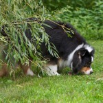 Dog Myths Decrypted: Grass for Gas?