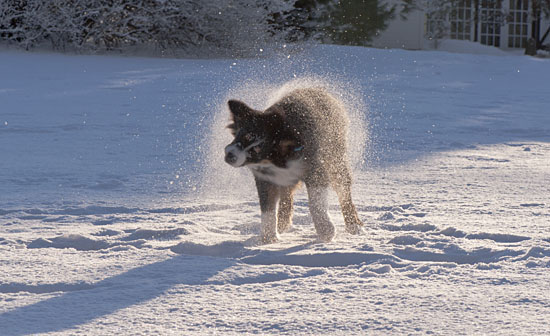 puppy shaking off snow