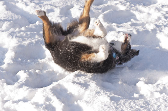 puppy rolling in the snow