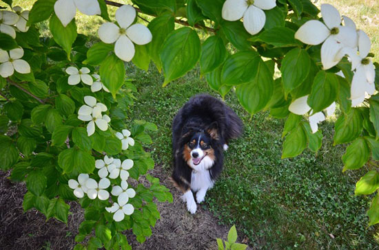 Cassidy welcomes the first day of Summer under her favorite dogwood tree