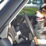 Driving Ms. Doggy